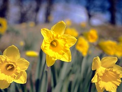 WHEN ALL AT ONCE.... (explore) (kenny barker) Tags: spring 20mm daffodils olympusep1 panasonic20mmf17asphlens kennybarker