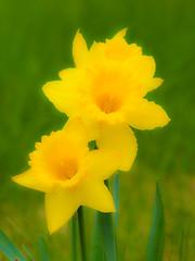 Daffodils 5 (dBernd) Tags: flowers ontario canada grass yellow digital garden spring colorful brighton flickr stems daffodils narcissus flowersplants dbernd berndbuessecker fineartamaerica daffodils5