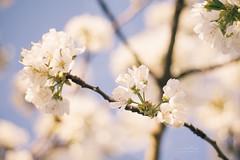 {cherry blossom bokeh} (Audrey Meffray) Tags: blue sky flower nature fleur rose yellow canon cherry 50mm spring blossom bokeh bleu ciel blanc printemps cerise cerisier flore vertgreen 450d