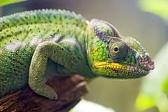 Panther chameleon profile (Tambako the Jaguar) Tags: macro green beautiful switzerland nikon reptile profile luzern posing lizard lucerne chameleon d4 reptilesdumonde
