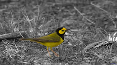 Hooded Warbler (Shedraway Photos) Tags: florida hood warbler fortdesoto hooded blackhood migratorybirds hoodedwarbler yellowface shedraway