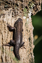 20130418 60D Green Cay-01 (James Scott S) Tags: tree green nature animals canon scott james bill dof florida gator wildlife spoon s lizard bark wetlands everglades fl cay preserve zoomed 100400 lr4 60d