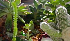 IMG_1089 (Snow Merlin) Tags: sea cactus macro glass forest cacti garden succulent indoor dew micro sedum succulents crassula echeveria propagation perforata pelusida