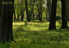 Forest of peace / A béke erdeje (Repiský Máté) Tags: trees flower tree green grass forest spring nikon hungary calm coolpix fa tavasz virág p90 gyula magyarország peac erdő fák fű béke békés forestofpeace zölg nikonp90 abékeerdeje csigakert gyulacsigakert