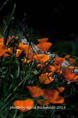 California Poppies-Photo trips-Wildflowers (ArtApril) Tags: california santabarbara canon roadtrips poppies wildflowers phototrips wwwmeetupcomphototrips