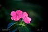 Two Pink Flowers ([visual media]) Tags: pink flowers brazil two plants black green leaves horizontal brasil dark leaf flora saopaulo background vegetation paulo sao