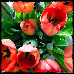OPENED (marc falardeau) Tags: red toronto canada cold spring colours tulips pentax april pointandshoot awake opened gayphotographer westofyonge