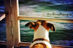 (Krista Cordova Photography) Tags: ocean blue dog brown white cute green water boat florida tan bluewater floating terrier boating destin destinfl destinflorida terriermix tanandwhite