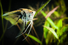 Angelfish (Dusty V) Tags: fish macro aquarium nikon tropical nikkor angelfish 105mm d90 pterophyllumscalare
