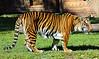 Feeding Time (DigitalLUX) Tags: nepal animals fauna cat photography zoo bhutan wildlife tiger tibet bigcat animales bangladesh tigre myanma pantheratigristigris royalbengaltiger pantheratigrisbengalensis