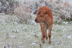 Epitome of Cute (dbushue) Tags: baby snow spring buffalo nikon wildlife valley yellowstonenationalpark wyoming calf bison 2012 ynp lamarvalley specanimal dailynaturetnc13 photoofthedaynwf13