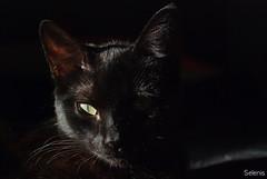 Noa (selenis) Tags: black cat nikon feline gata felino 2013 d80 50mmf14g