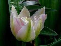 tulip blossoming out (sandglass2013) Tags: flower macro landscape pentaxsmcpda35mmf28 pentaxsmc35mmf28macro