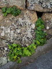 PhoTones Works #2639 (PhoTones_TAKUMA) Tags: plant nature stone wall landscape landscapes leaf    omd    em5 photones