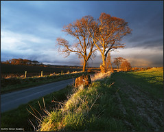 Two trees catching some rays (SwaloPhoto) Tags: road trees light sunset grass clouds fence scotland intense shadows fife deep fields local crombie canoneos5dmkii distagont2821ze