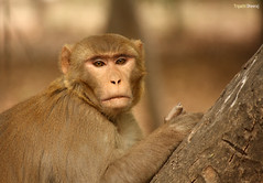 Portrait (Dheeraj Tripathi) Tags: india canon monkey wildlife rajasthan bharatpur dheeraj dvk canon55250 canon55250mm canon1000d keoldeonationalpark bharatpurbirdsantuary