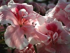 Azalia (ela_s) Tags: spring rhododendron krakw wiosna azalia ogrdbotaniczny ranecznik canons90