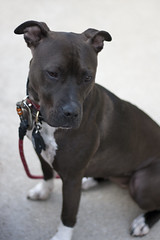 Kiwi (Rach ) Tags: dog chicago cute love dogs puppy pretty king adorable charles chloe pitbull pip spaniel cavalier kiwi cutest prettiest lovable