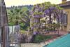 Giardino dei Boboli. (Brenti) Tags: flowers italy plant flower garden fire florence italia violet ita fiori vacanza boboli giardino