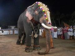 koodalmanikyam utsavam 2013 shiveli1 (koodalmanikyam-utsavam) Tags: elephant utsavam irinjalakuda koodalmanikyam irinjalakudautsavam shiveli koodalmanikyamtemple koodalmanikyamutsavam2013 koodalmanikyamutsavamphotos
