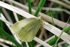 Small White- Pieris rapae (linanjohn) Tags: uk macro nature butterfly wildlife insects lincolnshire lepidoptera pierisrapae smallwhite pieridae snakeholmepit