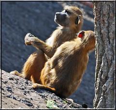 Baboons (littlestschnauzer) Tags: park uk family two animals out nikon day wildlife south yorkshire visit together april monkeys sat baboons doncaster yorks 2013 d5000 elementsorganizer11