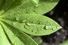 Rain on a Lupin Leaf (Rhoda Dendrum) Tags: rain garden leaf nikon 365 sigma105mm project365 nikond90 lupinleaf