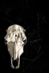 bleached light, brittle white (stillshunter) Tags: blackandwhite bw monochrome skull cow blackwhite cattle head highcontrast bones bone paddock brittle 5012 nikkor50mmf12