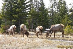Elks (white.choco.moka) Tags: canada alberta elk banffnationalpark canadianrockies