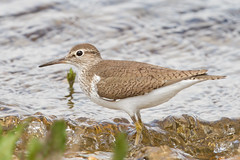 Common Sandpiper (markwright12002) Tags: birds may hampshire ringwood commonsandpiper blashford