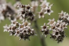 dried (Nitekite) Tags: macro canon dry dried makro dost origanumvulgare wildkruter macromondays gewrzkraut nitekite