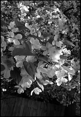 b&w blooms (kkurtz) Tags: flowers trees bw chicago tree nature leaves illinois spring flora bokeh foliage blooms logansquare chicagoist