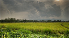 Fang rice field (Roger L. Sizemore) Tags: rice monsoon hotspring fang chiangdao doiluang