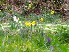 Around Cotehele/7 (Joanpix) Tags: england cornwall nationaltrust springflowers cotehele tamarvalley calstock aonb
