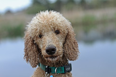 Wetdawg (Feistea) Tags: dog beach rain poodle apricot wesley standard standardpoodle