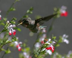 Visiting flowers (TJ Gehling) Tags: bird hummingbird flight salvia annashummingbird birdinflight calypteanna calypte apodiformes birdflight