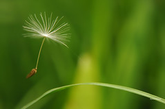 Natures Anchor (Jennie Anderson) Tags: clock weed time web dandelion seeds anchor wildflower jennieanderson