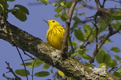 Yellow warbler male (Henry McLin) Tags: pennsylvania hanover yellowwarblermale codorusstatpark