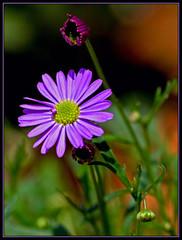 Lilac Daisy (FocusPocus Photography) Tags: flower garden blossom lila lilac daisy bloom blume blte garten gnseblmchen