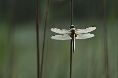 Four-spotted Chaser I (gooihierzooi) Tags: macro nature photography dragonfly natuur veluwe chaser libellula gelderland libel putten fourspotted natuurfotografie quadrimaculata viervlek