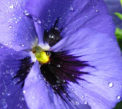 Blue pansy (lady.bracknell) Tags: flowers blue flower macro garden pansy pansies