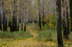 Russkij Les (tribaltech1979) Tags: autumn leaves forest russia autunno birches foresta betulle beriosj