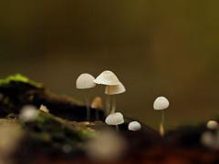 tiny (Johnson Cameraface) Tags: november autumn macro mushroom 50mm olympus fungi toadstool f2 zuiko doncaster southyorkshire 2014 zd yorkshirewildlifetrust ywt e620 pottericcarrnaturereserve johnsoncameraface