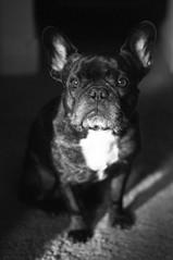 11-15-14 (1847) Sunbathing (Lainey1) Tags: bw dog nikon oz bulldog frenchie frenchbulldog 365 ozzy 1847 frogdog d90 lainey1 nikond90 zendog 111514 elainedudzinski thesixthyear ozzythefrenchie 1847oz