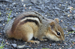 Chipmunk 1 (Largeguy1) Tags: nature animal canon mark iii 150 chipmunk 5d approved tamron 600mm