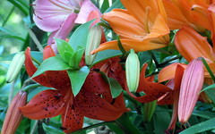 july lilies (4) (kexi) Tags: lilies flowers many colors red pink orange green garden gniazdowo poland polska samsung wb690 july 2015 buds instantfave