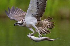 Osprey (Les 24293998) Tags: breakfast scotland trout aviemore osprey