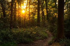 Into the depths of the woods (SimonLea2012 (Off to Minsmere for Springwatch!!!!)) Tags: uk trees light sunset sun nature leaves landscape gold woods alone shadows dusk path sunburst