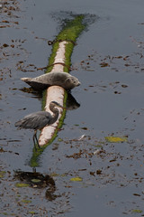 Heron & Seal (Tom Clifton) Tags: pointlobos bluefishcove greatblueheron harborseal