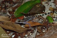 Cyrtodactylus quadrivirgatus (Cheng Wenda) Tags: cyrtodactylus quadrivirgatus bent toed gecko